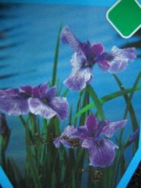 wasserpflanzen und aquaristikmarkt iris kaempferi prairie glory. Black Bedroom Furniture Sets. Home Design Ideas